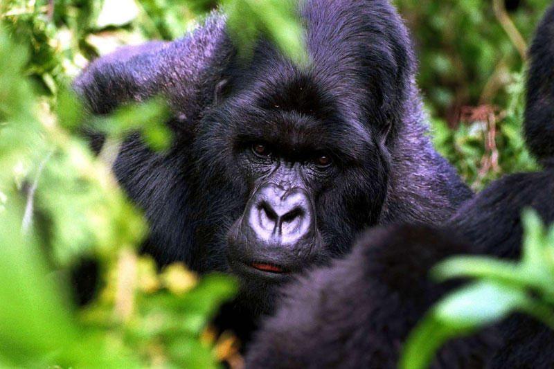Zoologijos sode žaisdama netyčia pasikorė gorila