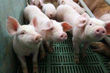 Siūloma kiaulių ūkių dydį riboti pagal aplinkosauginius rodiklius