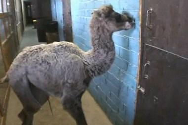 Klaipėdos Mini Zoo kupranugariai atsivedė jauniklę