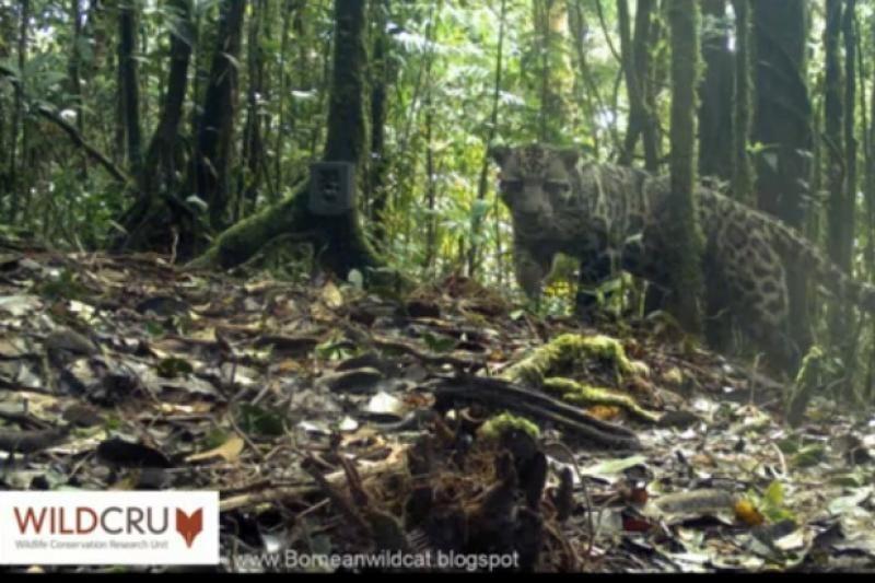 Nufilmuotas itin retas debesuotasis Sunda leopardas