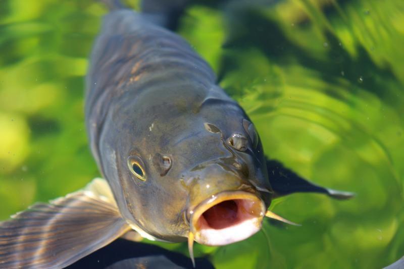 Karpius pakeis kitos                      žuvys?