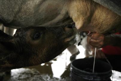 Brazilija - viena iš pagrindinių pieno eksportuotojų