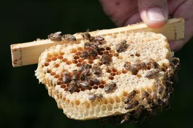 Dėl ilgapirščių kaltės žuvo dvi bičių šeimos