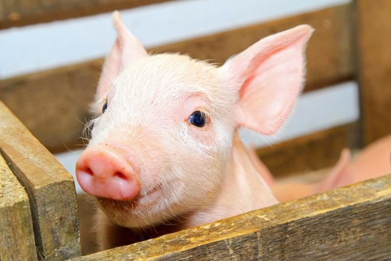 Kiaulių, nepriklausomai nuo norų, nedaugėja