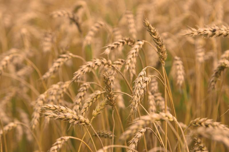 """""""Agrowill Group"""": sausra kai kuriuose Europos regionuose atsilieps grūdų kainoms"""