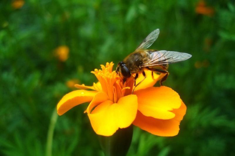 Nykstančios Europos bitės įkainotos beveik 50 milijardų litų