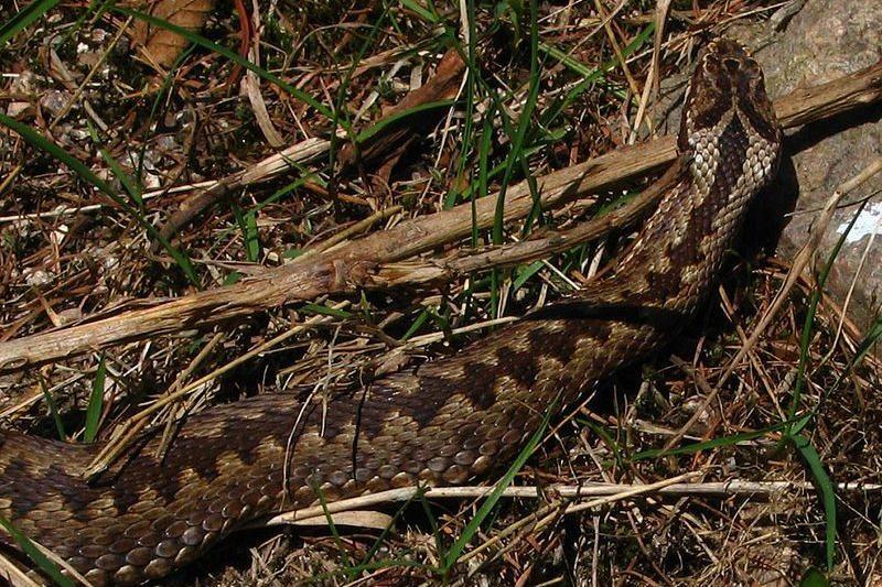 Ar tikrai pavojinga angis – vienintelė nuodinga gyvatė Lietuvoje?