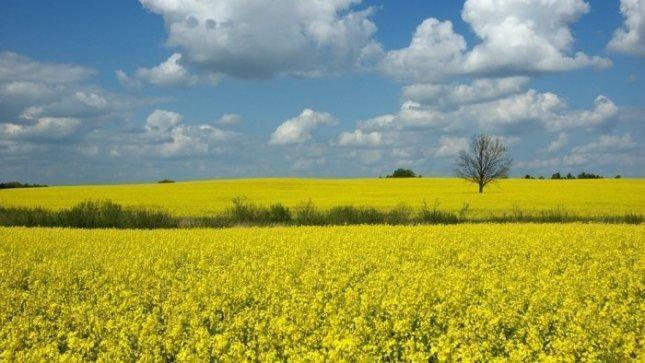 Lietuvos ūkininkai skaičiuoja iššalusių rapsų nuostolius