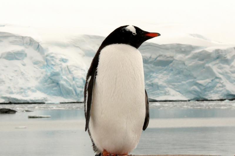 Japonijoje pingvinas bėglys gavo naują vardą