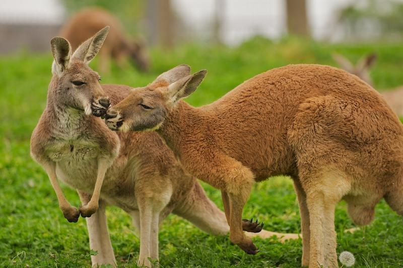 Po Vokietiją lakstančios kengūros negali sugauti net policija