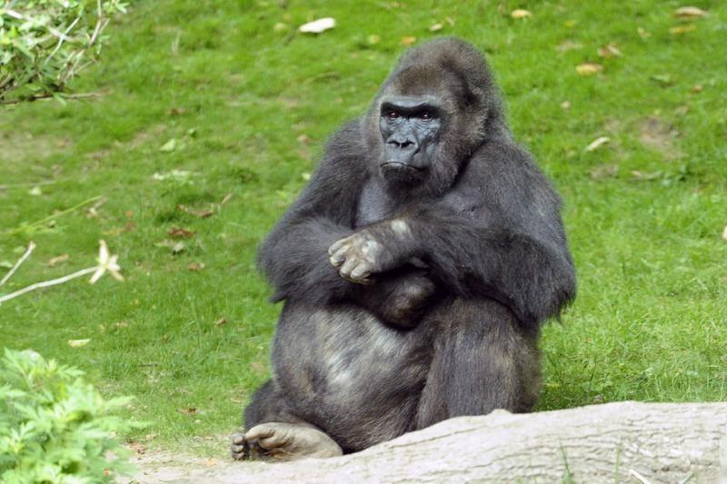 Niujorko zoologijos sode nugaišo lankytojų pamėgta gorila