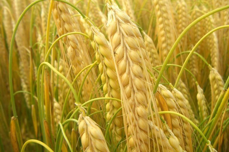 Grūdų augintojai tikisi aukštesnių kainų