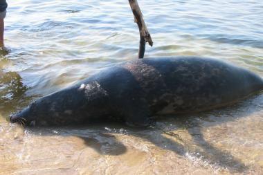 Klaipėdos paplūdimyje išmestas dar vienas negyvas ruonis