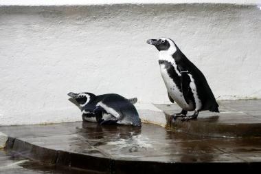 Jūrų muziejuje – pingvinų meilės giesmės