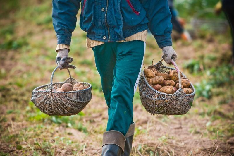 Šiaulietis šiemet nukasė antrą bulvių derlių