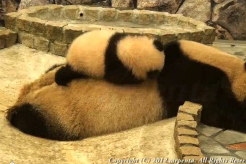 Mielumo įsikūnijimas: pandų mažylio bandymai suerzinti mamą
