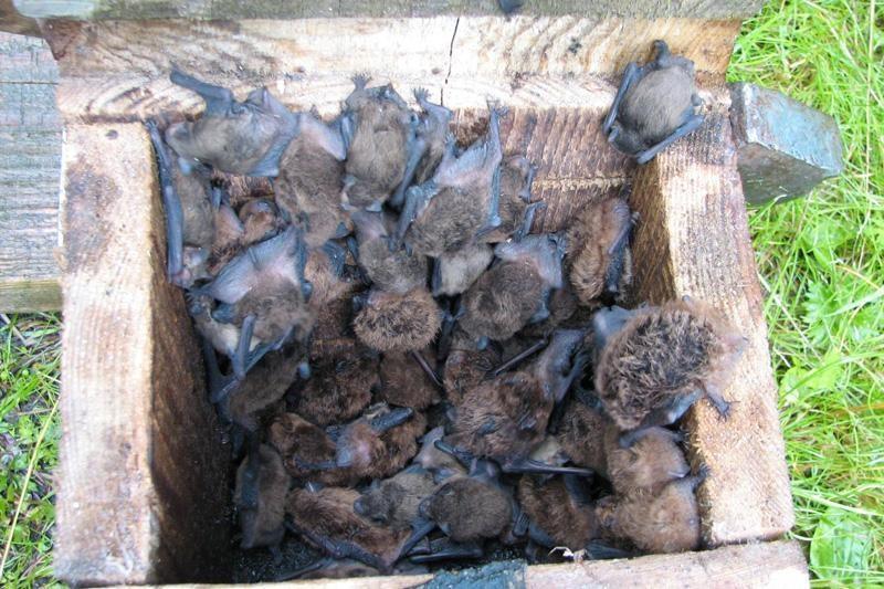 Ola, kurioje gyvena 20 mln. šikšnosparnių