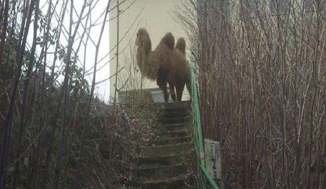 Dortmunde ant kojų policiją sukėlė iš niekur atsiradęs kupranugaris