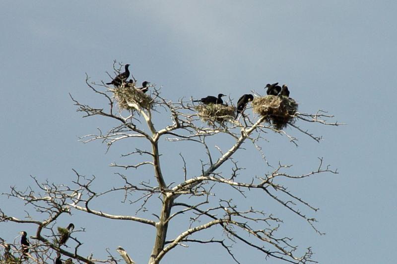 Petardos padeda: Lietuvoje kormoranų kolonijos pamažu retėja