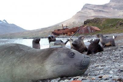 Su klimato kaita padeda kovoti jūrų drambliai (nuotr.)