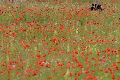 Pakruojo rajone aptiktas aguonų laukas