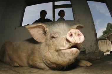 Populiariausia Kinijoje – kiaulė
