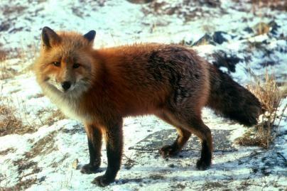 Lietuvoje mažėja pasiutusių gyvūnų