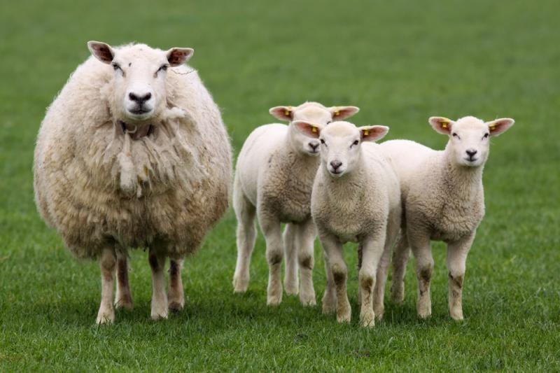 PAR ūkininkas avis aprūpino mobiliaisiais telefonais