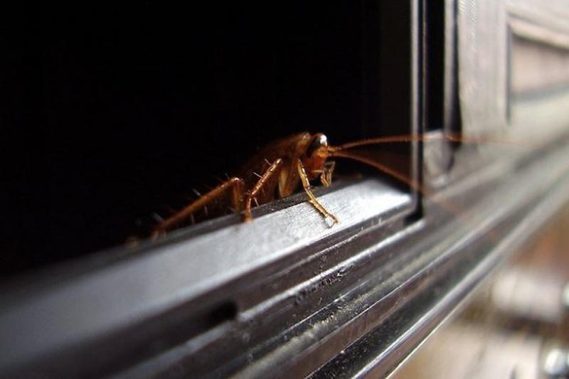 Kas būtų, jei pasaulyje nebeliktų tarakonų?