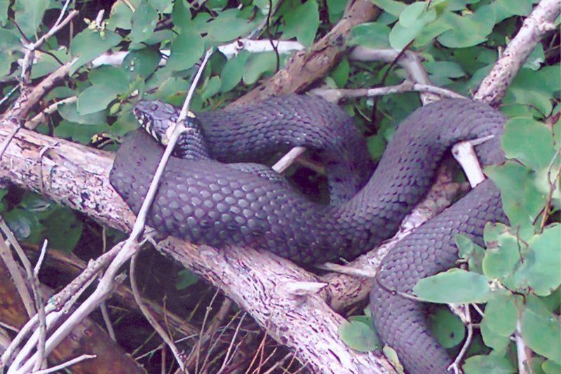 Gyvatės geria pro apatinį žandikaulį dengiančią odą