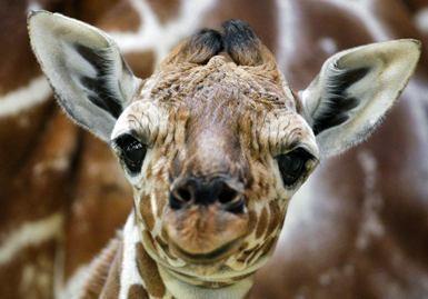 Žirafa suorganizavo žvėrių pabėgimą iš cirko