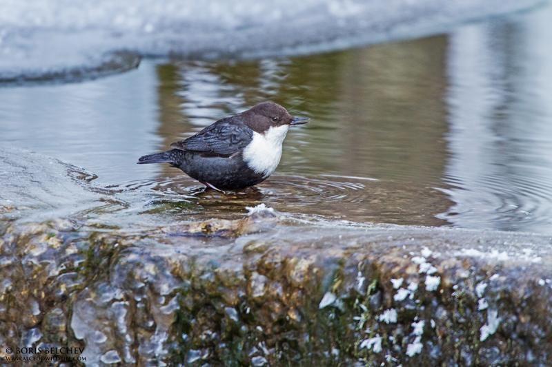 Dubysos regioniniame parke – retas paukštis iš Šiaurės