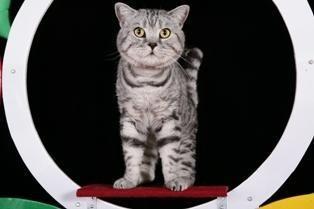 Vienintelė katinėlių olimpiada vyks Lietuvoje