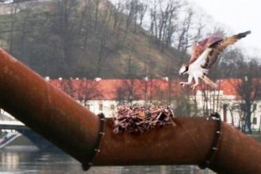 Ereliai žuvininkai susisuko lizdą Vilniaus centre (Balandžio 1-osios pokštas)
