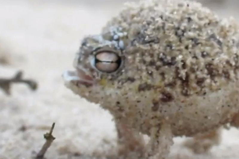 Vaizdo įraše įamžinta neįtikėtinai cypianti varlė