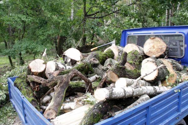 Mingėje iškirstų medžių byla pasiekė teismą