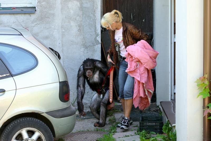 N.Zobovui nepavyko atgauti šimpanzės Reginos