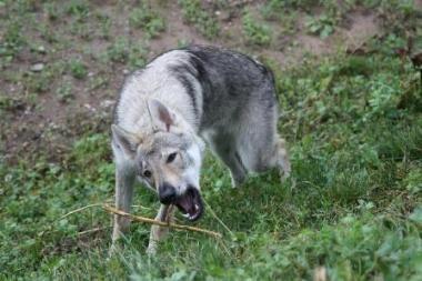 Šuns paieškos visą Panevėžio miestą sukėlė ant kojų