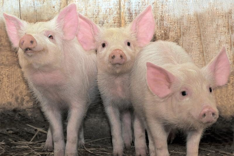 Danų kiaulių augintojai Lietuvoje privalės gauti naujus leidimus