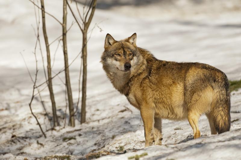 Visuomenė kviečiama talkinti skaičiuojant vilkus ir lūšis