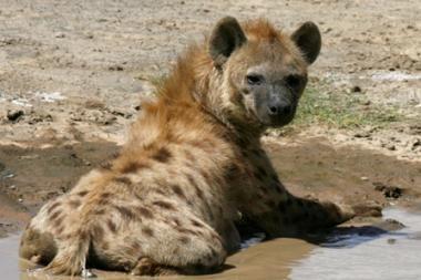 Paaiškėjo, kodėl hienos juokiasi