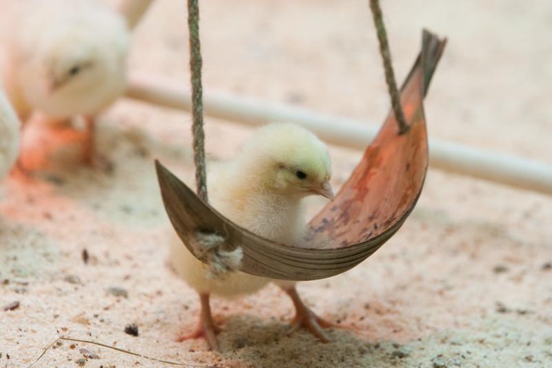 Gyvos dekoracijos parduotuvėse: kas laukia viščiukų po sočių Velykų?