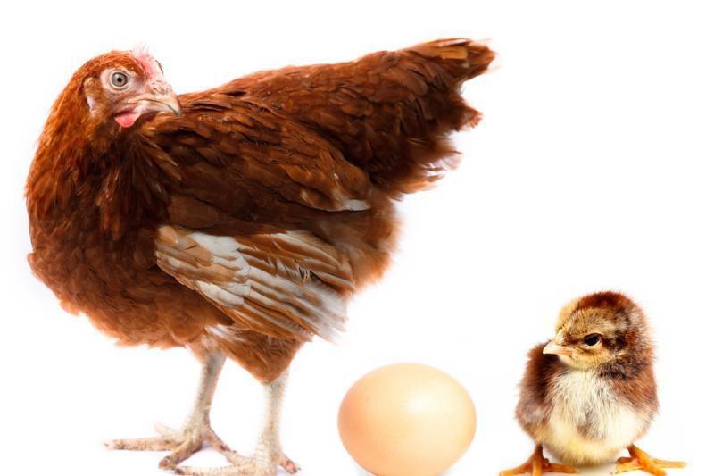 """Višta """"padėjo"""" viščiuką  be  kiaušinio"""