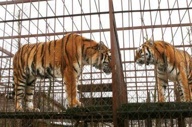Kinijos zoologijos sode iš bado nugaišo 11 tigrų