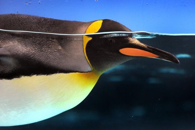 Pingvinų patinėlių pora peri kiaušinį