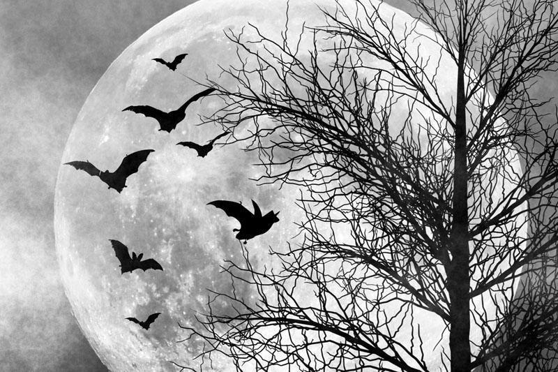 Šikšnosparniai pateles vilioja sudėtingomis serenadomis