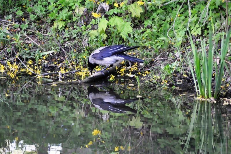 Panevėžyje bus ardomi varninių paukščių lizdai