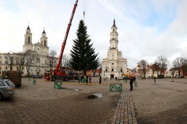 Kaune į Rotušės aikštę atkeliavo Kalėdų eglė (papildyta)