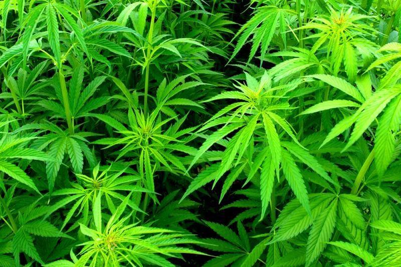 Koloradas tapo antrąja Amerikos valstija, legalizavusia marihuaną