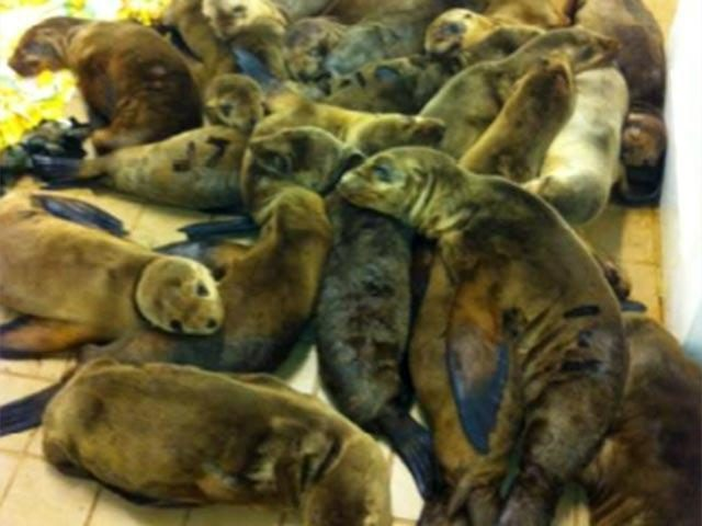 Pietų Kalifornijos paplūdimiuose - jūrų liūtų bėdos